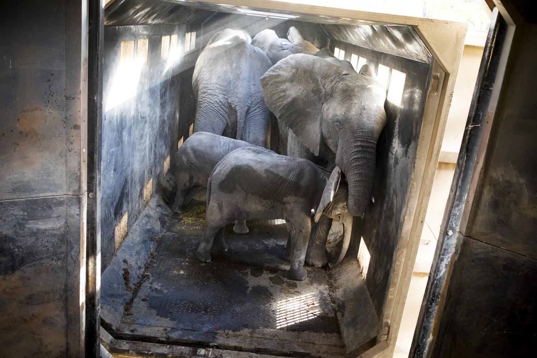 Elephants in a transportation-box