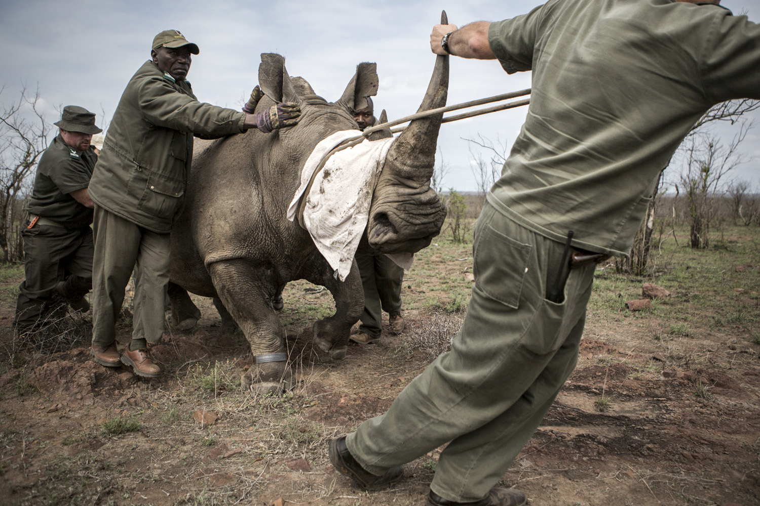 Team of vets and rangers escorting a mother-rhino