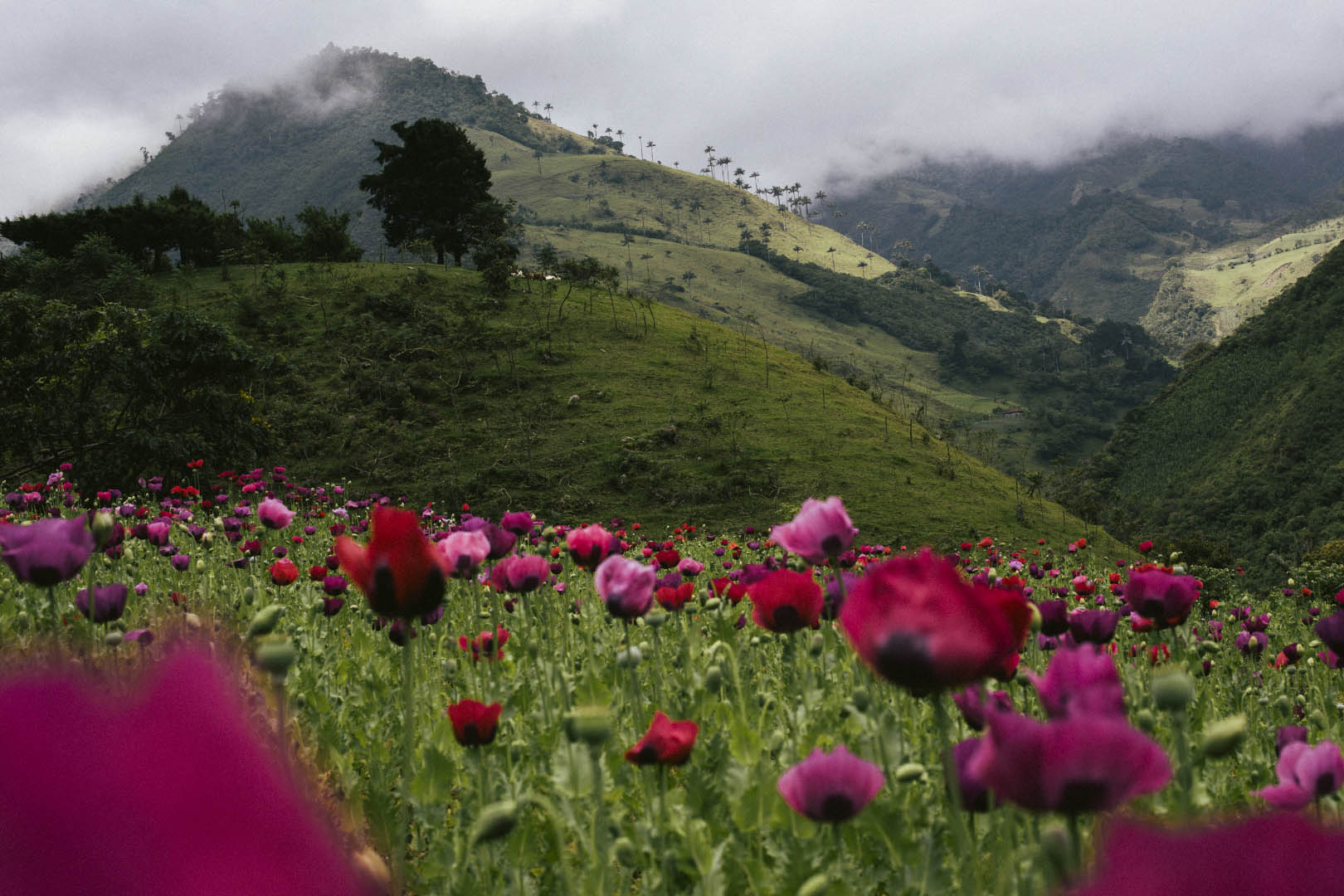 Mohnfeld in Tacueyó