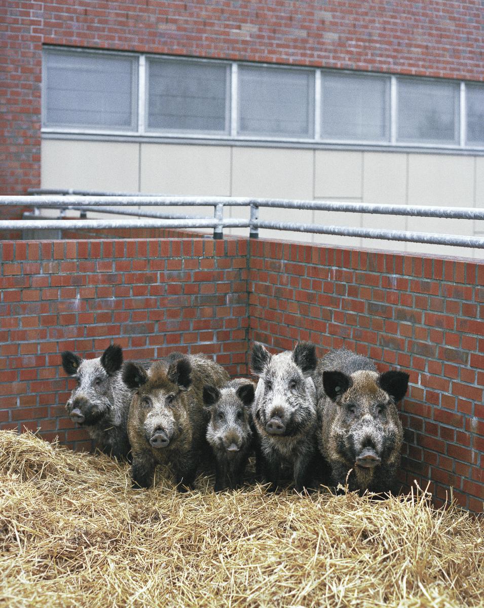Wildschweine aus eigener Zucht