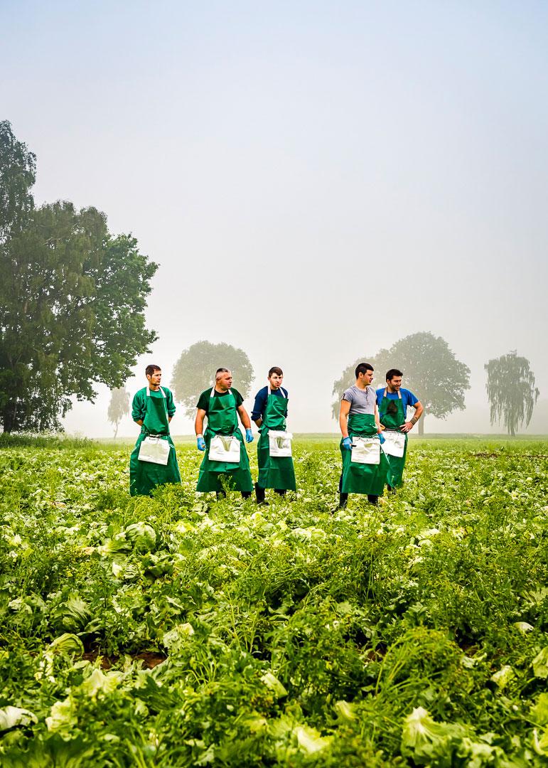 Erntearbeiter bei der Eissalat-Ernte