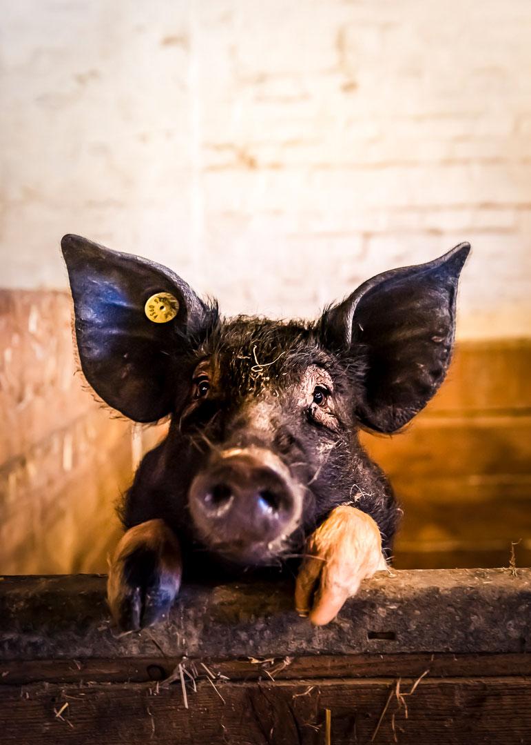 Schwein auf dem Kattendorfer Hof
