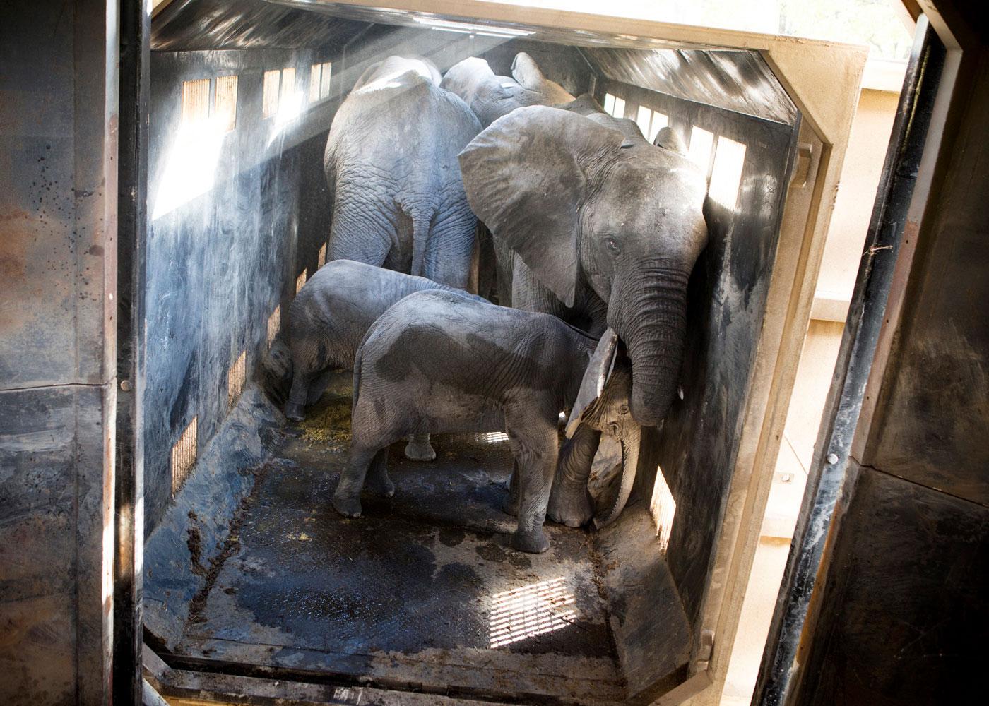 Elefanten in einer Transportkiste, bereit zur Umsiedlung, Malawi © Julius Schrank
