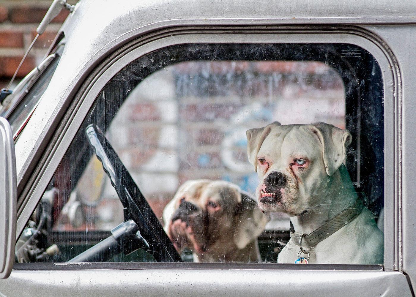 Bulldogen © Martin Langer