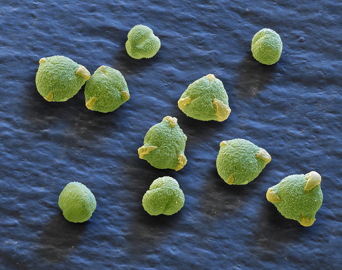 Eiche- Pollen 520:1