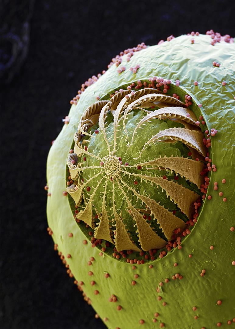 Botanik: Bryidae: Funeriales: Funaria hygrometrica
