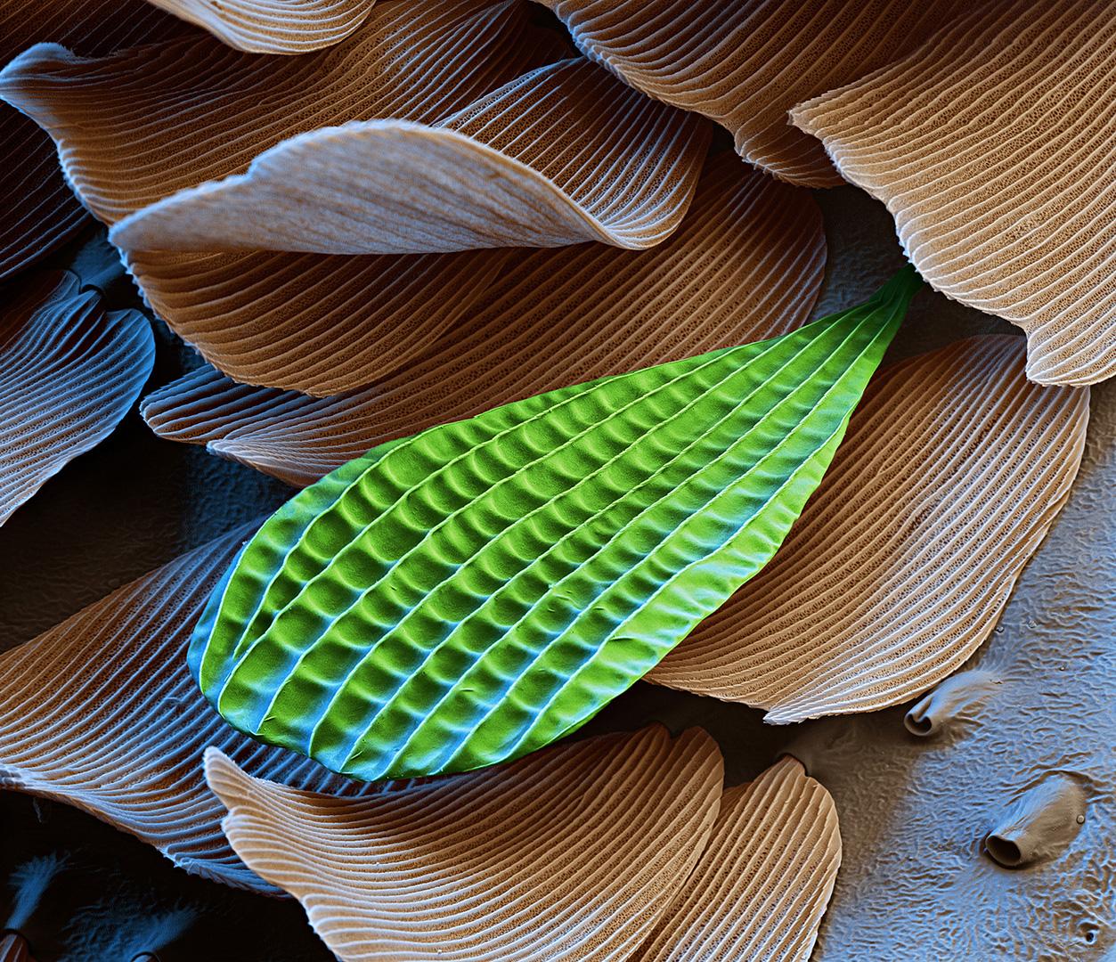 Schmetterlinge, Papilio palinurus 800:1