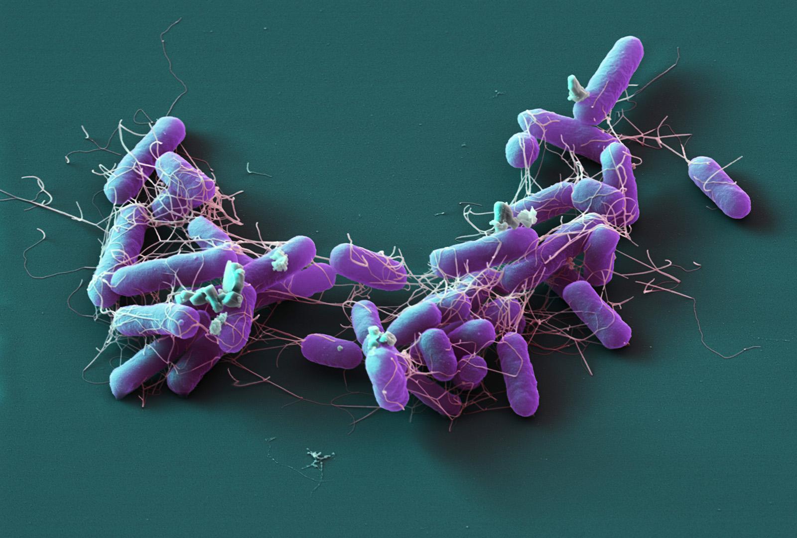 Salmonella enterica, 11 000:1